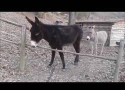 Enlace a Hay burros que son más inteligentes que otros