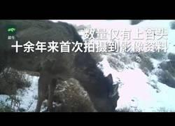 Enlace a Localizan en China un misterioso animal que mezcla entre caballo y ciervo