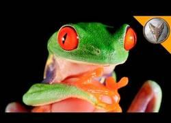 Enlace a Esta es la rana más famosa del mundo y es alucinante todos sus colores