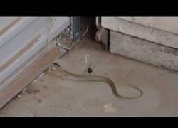 Enlace a El terrible combate entre una viuda negra y una serpiente