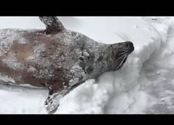 Enlace a La diversión de estos animales al llegar la nieve en el Zoo de Oregon