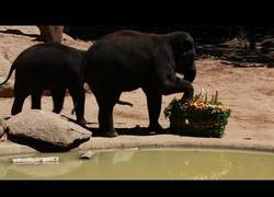 Enlace a La gran sorpresa en forma de tarta para este elefante que cumple años en el Zoo de Melbourne