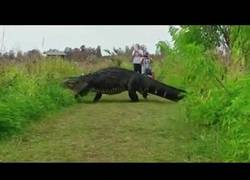 Enlace a Impactante el momento en el que captan un enorme caimán en Florida