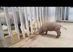 Enlace a Este tímido bebé de rinoceronete conoce por primera vez a su padre