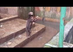 Enlace a Denunciable: Osos suplicando comida en un zoológico de Indonesia