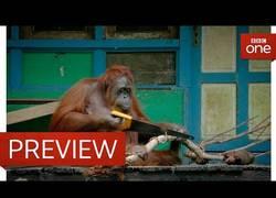 Enlace a Orangután usando sierra para cortar madera