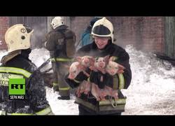 Enlace a Estos bomberos salvan a unos lechones de un incendio en una granja