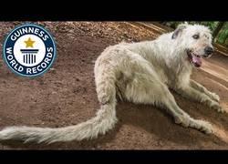 Enlace a Él es Keon y es el perro con el rabo más largo del mundo