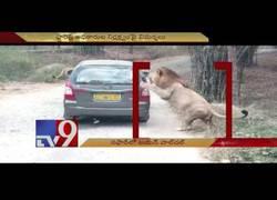 Enlace a El ataque de una familia de leones a un coche de turistas en el parque biológico de Karnataka