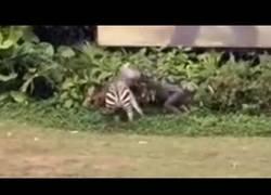 Enlace a La cebra que entró en locura y atacó a su cuidador en el Zoo de Guangzhou