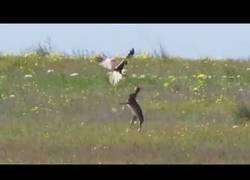 Enlace a La liebre rusa que luchó por sobrevivir contra un todopoderoso halcón
