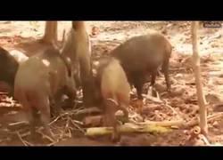 Enlace a Esta familia de jabalíes se come a una pitón después de haberse comido a uno de sus hijos