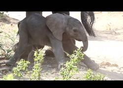Enlace a Los primeros pasos siendo un elefante no son fáciles