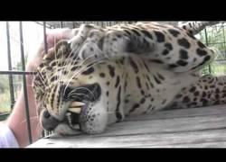 Enlace a Acaricia a un leopardo y él está en el séptimo cielo del gusto