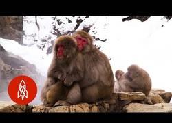 Enlace a El paraíso para estos monos es este spa natural situado en Japón