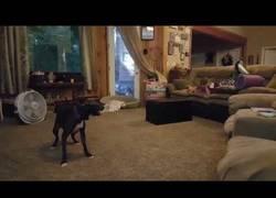 Enlace a La divertida forma de este pitbull de hacer reír: dando vueltas a lo loco por el salón