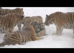 Enlace a Tigres ven un drone y se lanzan a por él