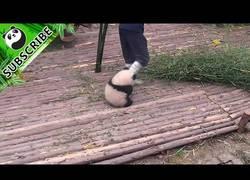 Enlace a Este bebé de panda quiere un poco de cariño pero el trabajador tiene tareas por hacer