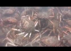Enlace a Grupo de cangrejos descuartiza a un pulpo sin piedad