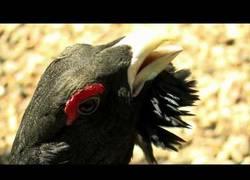 Enlace a El urogallo del cantábrico: esta preciosa especia casi extinta y los preciosos parajes que habita