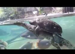 Enlace a Esta tortuga encontró su acompañante ideal en su aventura por el agua
