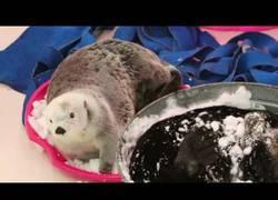 Enlace a Las nutrias se lo pasan en grande con la nieve en el Shedd Aquarium de Chicago