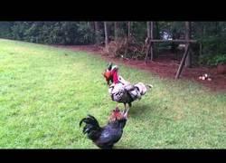 Enlace a Este pavo enorme apareció de repente para frenar una pelea entre gallos