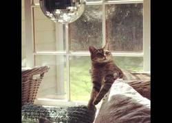 Enlace a Una bola de discoteca es la droga de los gatos para dejarlos alucinando