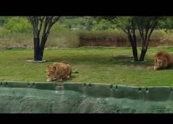 Enlace a Una leona intenta atacar a los turistas del parque y pasa algo impredecible