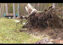Enlace a El sistema de poleas para arrancar un árbol con la fuerza de un tractor