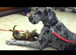 Enlace a El gran danés que hizo un pequeño y nervioso amigo en la sala del veterinario