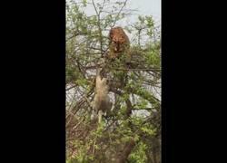 Enlace a El terrible error de este tigre al intentar cazar a este mono en un árbol