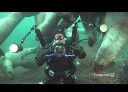 Enlace a La curiosidad de los leones marinos al recibir visita