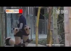 Enlace a Un grupo de pandas acosa sin control a su cuidador mientras hace sus tareas