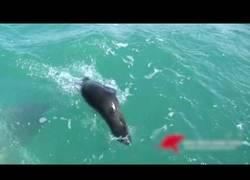 Enlace a Esta foca es devorada por un enorme tiburón en una batalla en el mar