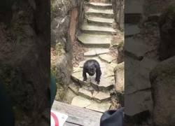Enlace a Este chimpancé enloquece en el zoo y le lanza 'caca' suya a una abuelita en la cara