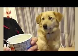 Enlace a Este perro quiere un poco de yogur pero cuando su dueño le mira...