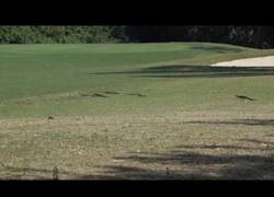 Enlace a Pillan a toda una familia de aligators pasesando por un campo de golf