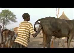 Enlace a Este chico ha encontrado la mejor forma de estimular a su vaca: con su boca