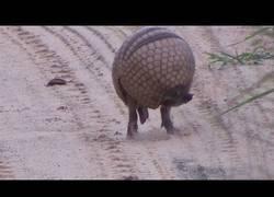 Enlace a La increíble velocidad del armadillo para hacerse una bola