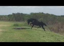 Enlace a El mundo se ha vuelto loco: un caballo ataca a un cocodrilo