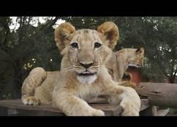 Enlace a Hay gente en Sudáfrica que vive entre grandes felinos