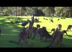 Enlace a Cuando vas a jugar al golf pero hay una gran invasión de canguros