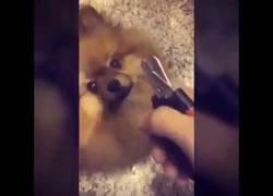 Enlace a Este perrito tiene terror absoluto a que le corten las uñas y así lo demuestra