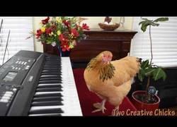 Enlace a La Mozart de las gallinas que sorprende tocando así de bien el piano