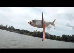 Enlace a Pescando la carpa asiática con un boomerang
