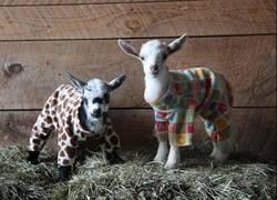 Enlace a ¡Las fiestas de pijamas también existen en las cabras!