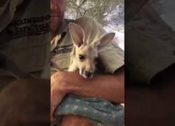 Enlace a Un bebé canguro huérfano necesita un bolsa donde meterse :(