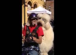 Enlace a El enorme perro que ama ir en moto con su dueño