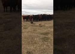Enlace a Este ganado acaba de descubrir a un castor y todos van detrás muy curiosos